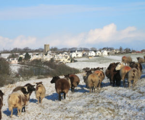 West Buckland Village & ewes in the snow