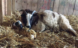 Ewe cleaning lamb and lamb starting to get up