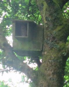Tawny owl in owl box