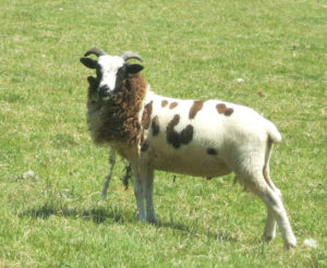 The 'King' sheep at Huxtable Farm B&B