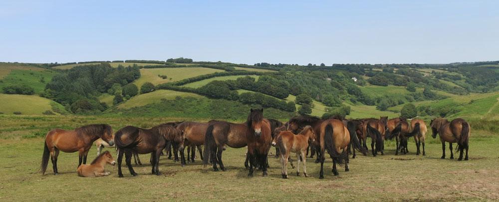 Exmoor ponies near Landacre Bridge Exmoor