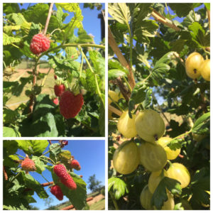 Fruit; Raspberries, Gooseberries and Logenberries