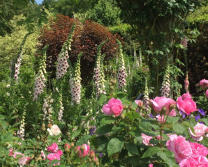 RHS Rosemoor Rose Festival