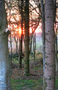 Sunset through woodland