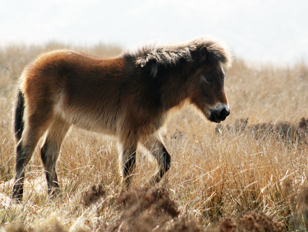 Exmoor pony foal in fluffy winter coat