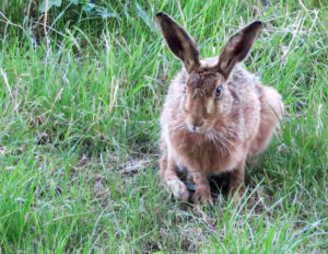 Hare in grass at Huxtable Farm B&B
