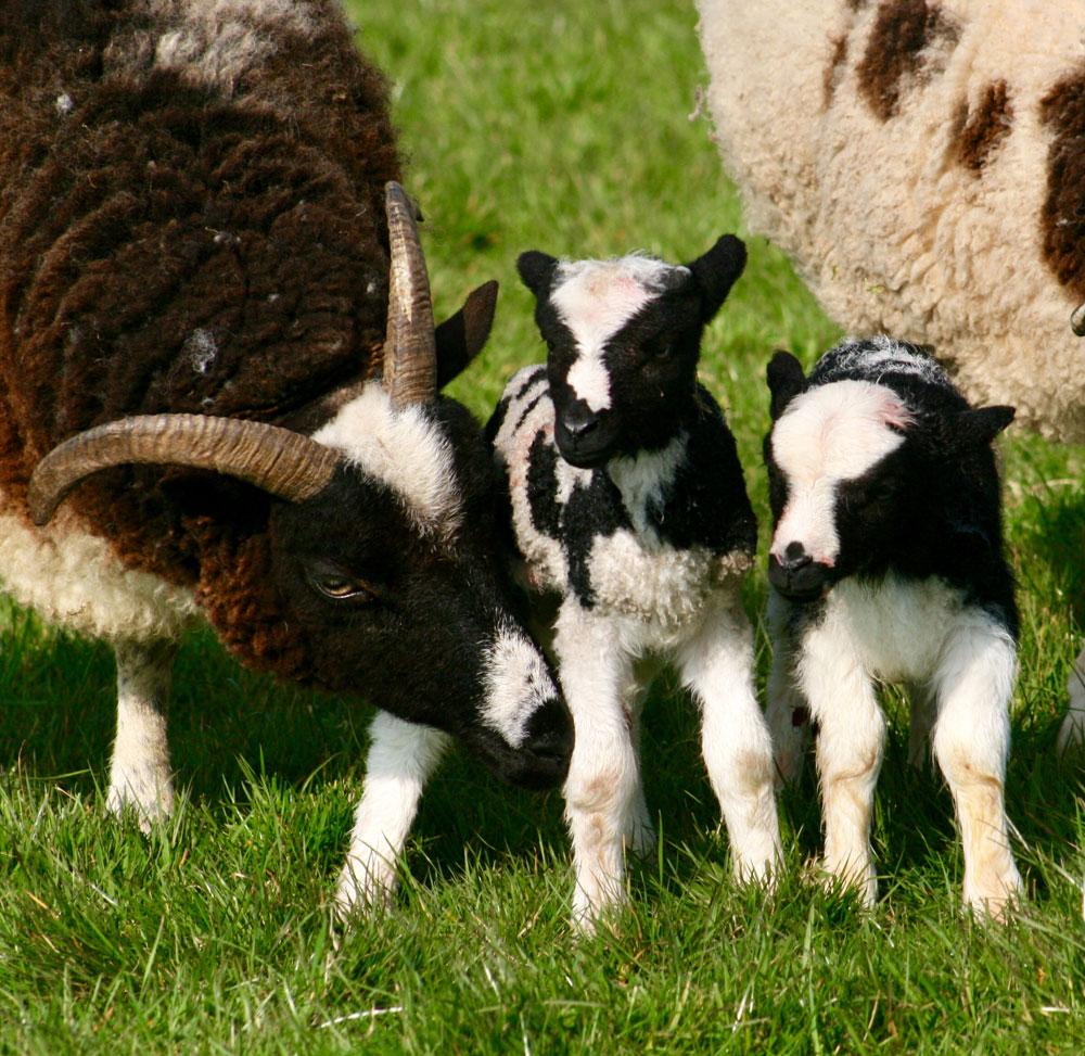 Jacob lambs