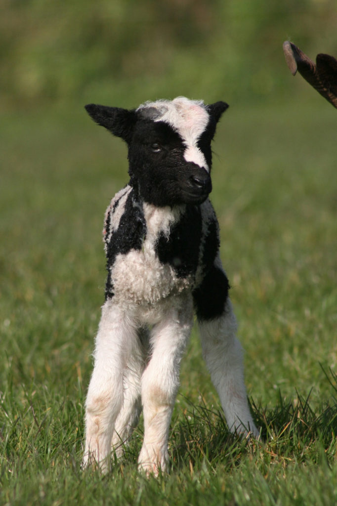 Jacob lamb