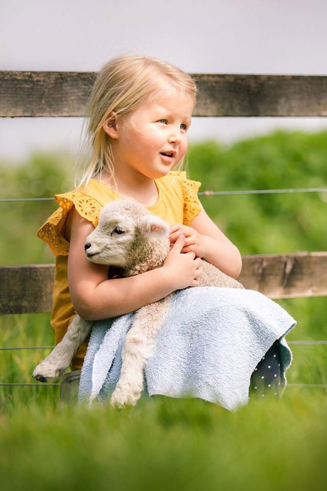 Tame orphan Romney lamb cuddle