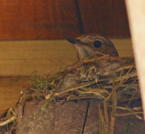 Fly Catcher on Nest