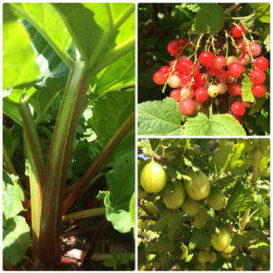 rhubarb, gooseberries and redcuurants
