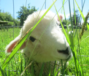 Orphan tame lamb, Woolly is expecting lambs herself this year Woolly is
