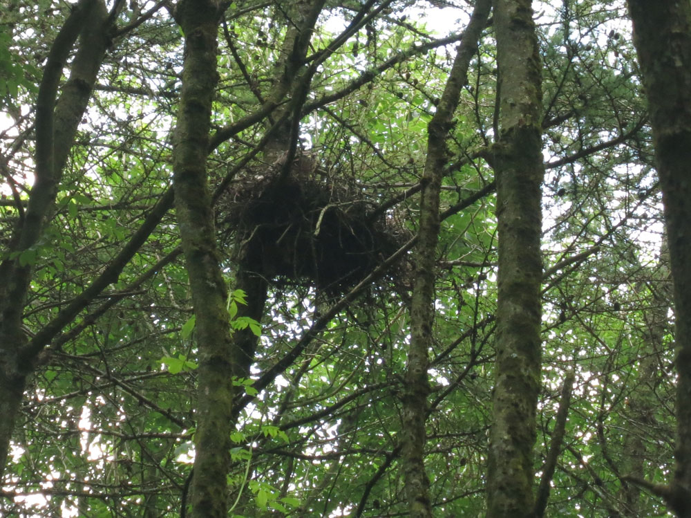 Spot the young buzzard in its nest in the woodland