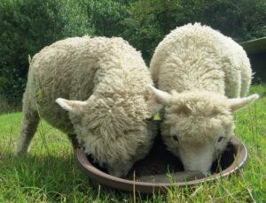 Tame lambs 3mths