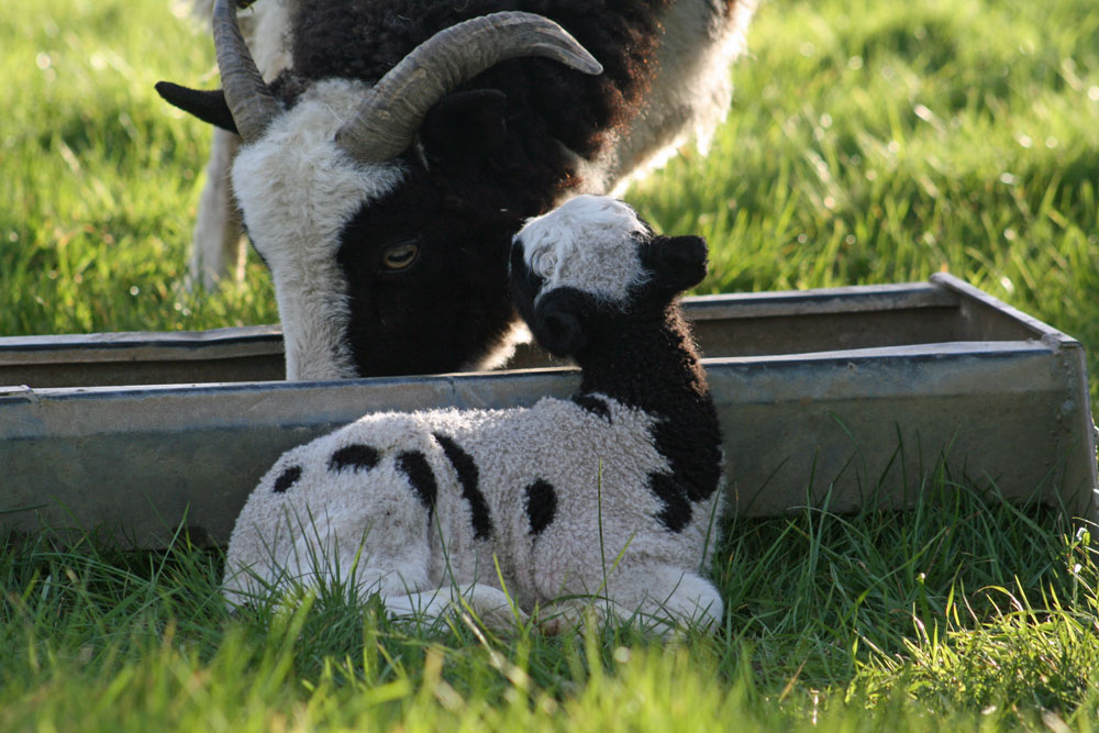 Jacob ewe and lamb at trough