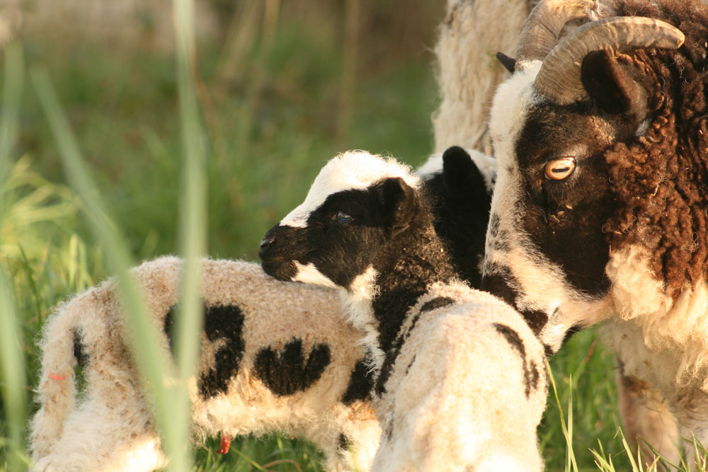Jacob ewe and lambs