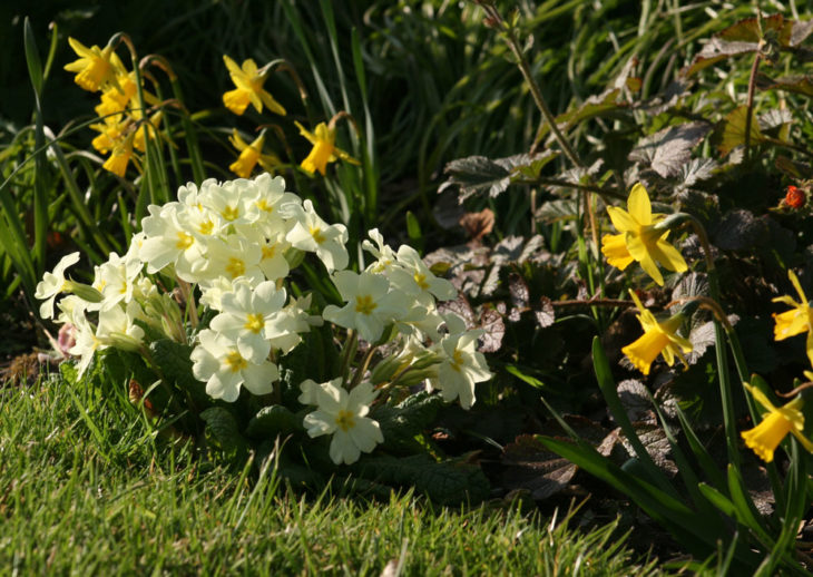 Spring flowers; primroses & daffodils