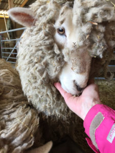 Woolly - last years tame orphan lamb