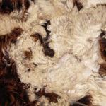 Raw Jacob fleece
