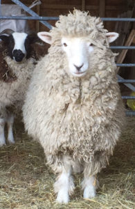 Woolly before shearing