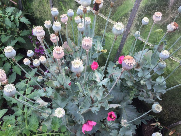 Poppy heads