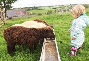 Rockie - the tame lamb